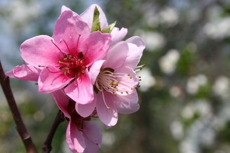 closeup image of almond flowers in spring Stock Photo