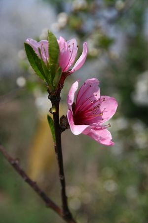 closeup image of two almond flowers in spring Stock Photo