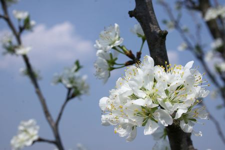 closeup image of one plum tree with lot of flowers