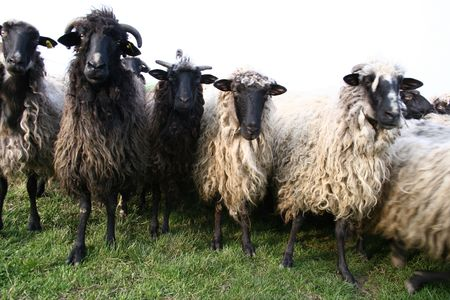 image of more sheeps on the meadow