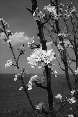 image of landscape with plum tree in spring