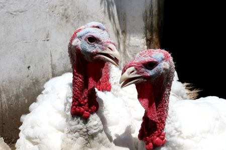 image of two turkeys that lives on the farm
