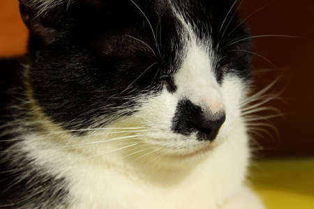 Blurred cropped shot of sleeping cat. Tuxedo cat, close up. Pets, animals concept. Imagens