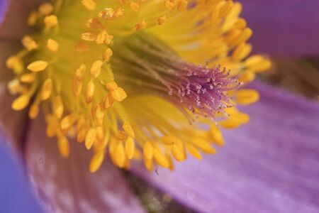 Macro shot of pistil and stamen of Pulsatilla grandis