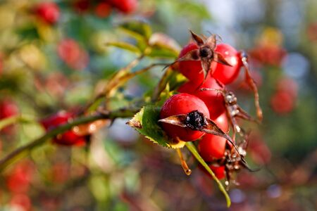 Detail of red rose-hips in morning sunlight Banque d'images - 132113356