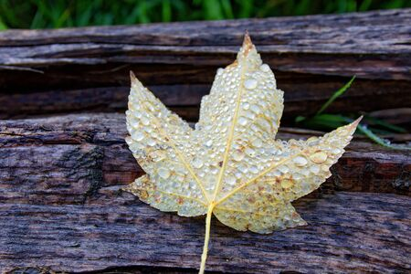 Yellow maple leaf cover by many glittering water drops laid on a piece of wood.