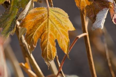 Golden fall leaf