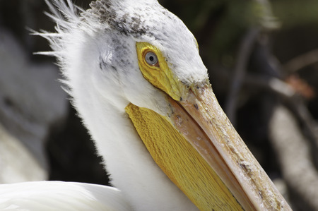 Close up of an American White Pelican photo