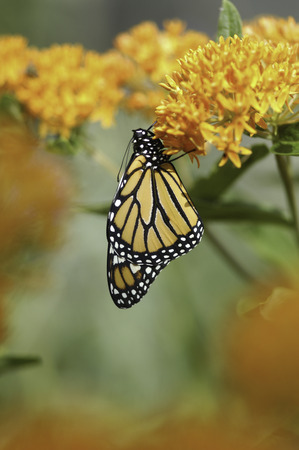 A newly emerged Monarch Butterfly (Danaus plexippus) dries it wings on Butterfly Milkweed Plant (Asclepias tuberosa) Stock Photo