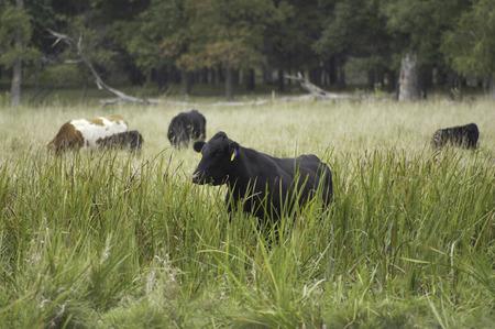 Cattle grazing in a wetland.