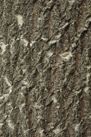 populous: Closeup of the texture of middle-aged Big Tooth Aspen (Populous grandidentata) bark, as it transitions from smooth to deeply fissured.