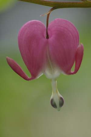 "It is easy to see where the Bleeding Heart (Lamprocapnos spectabilis) flower gets its name.  It does go by another name, the ""Lady in the Bath"" because of the form the flower takes if inverted and split."