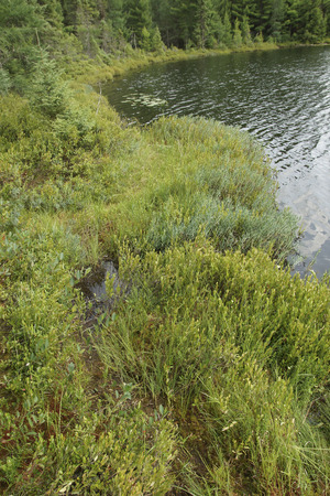 mosses: Mosses and other bog plants creep out of the edge of a lake in northern Wisconsin. Stock Photo