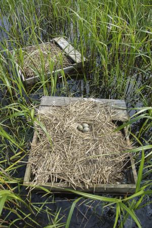 Floating nesting platforms placed for Forster's Terns (Sterna forsteri), contained nests and eggs. Banco de Imagens