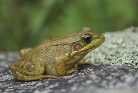 rana: Una rana verde se sienta en una roca que se calienta en el sol.