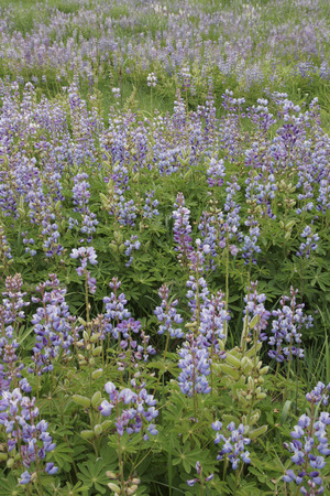 lupines: A group of Lupines rebounds nicely after the area was burned a few month prior.