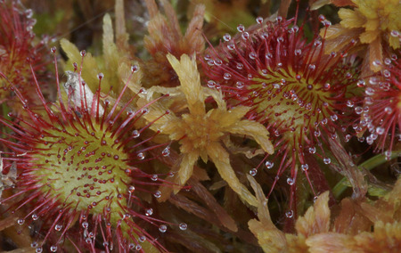 bogs: The leaves of  Round-leaved sundew Drosera rotundifolia, a carnivorous plant of bogs, has sticky hairs protruding from its leaves to catch insects. Stock Photo