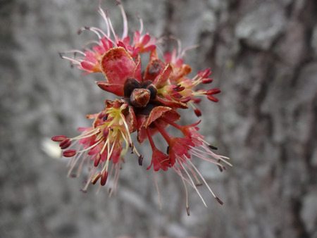 silver maple: The surprisingly beautiful male flowers of a Silver Maple (Acer saccharinum) tree in the early spring before the leaf buds open.