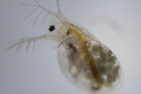 The water flea, or Daphnia is zooplankton that primarily eats algae.  Although very small, they can still be seen with the naked eye, and are good sight to see, because they eat lots of algae and can prevent algae blooms.