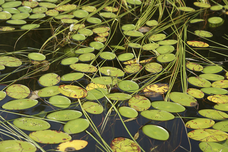 sheild: Leaf pads of Water Shield (Brasenia schreberi) and the long ribbon-like leaves of bur-reed (Sparganium sp.) floating on the surface of a lake.