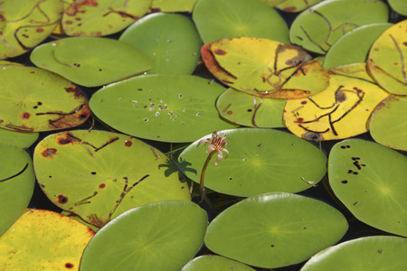 In the center is the flower of the Water-shield (Brasenia schreberi) an aquatic floating-leaf plant.