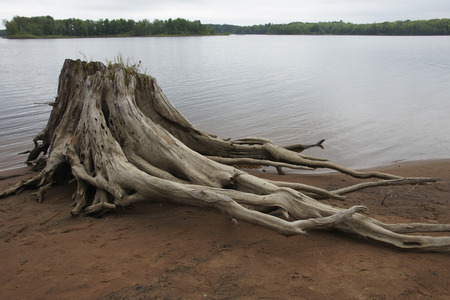A skeletonized stump of a huge Eastern White Pine Stump (Pinus strobus) lies along the shore of a lake.
