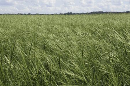 A Rice densa y saludable Salvaje (Zizania spp.) Que sopla en el viento. Foto de archivo - 37094000