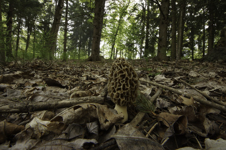The highly edible Common Morel (Morchella esculenta) mushroom is sought after for cooking.  This particular fungus was very tasty.