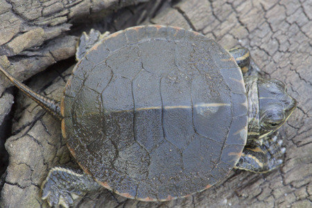 carapace: The top shell, or carapace of a baby Midland Painted Turtle (Chrysemys picta marginata)