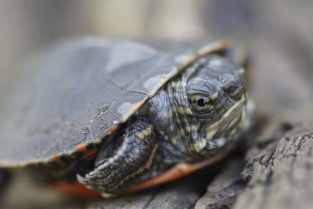 hatchling: A portrait of an angry looking baby Midland Painted Turtle (Chrysemys picta marginata) face.