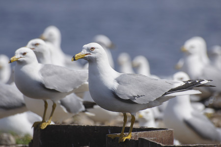 Ring-billed Gulls (Larus delawarensis) look angry outside their nesting colony. Banco de Imagens