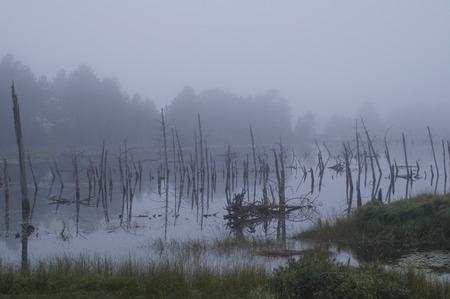 arboles secos: �rboles muertos en el estanque, cielos oscuros y niebla dan una sensaci�n espeluznante a esta ma�ana de agosto.