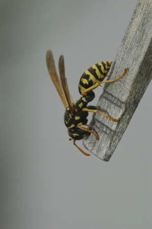 converting: A female paper wasp collects wood by stripping it off a close pin with its mandibles.  The wasp will then chew the wood converting it into a liquid paper to make its nest.