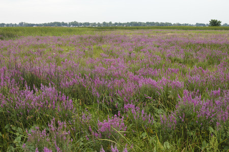 invasive species: Purple Loosestrife (Lythrum salicaria), an invasive species, is taking over this sedge meadow wetland.