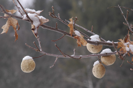 quercus: Wasp larvae form large galls from Red Oak (Quercus rubra) before they mature into adults.