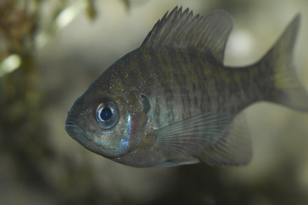 yoy: A young of the year Bluegill (Lepomis macrochirus) investigates the camera.  When it matures it will be a priced meal for fisherman.
