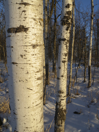 The trunks of Quaking Aspen Trees (Populus tremuloides) catch the first light of the morning sun. Stock Photo
