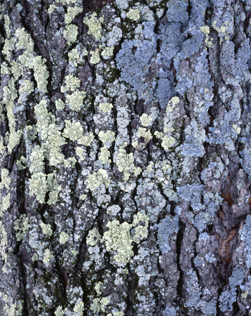 This old Black Cherry (Prunus serotine) is covered with several species of lichen. Фото со стока