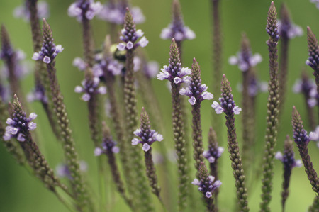 Close-up of Blue Vervain (Verbena hastate) a wetland wildflower.