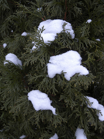 thuja occidentalis: Little clumps of snow pile up on the needles of a Northern White Cedar (Thuja occidentalis) tree.