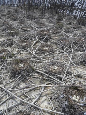 cormorants: Double Crested Cormorants (Phalacrocorax auritus) nest in trees or on the ground.