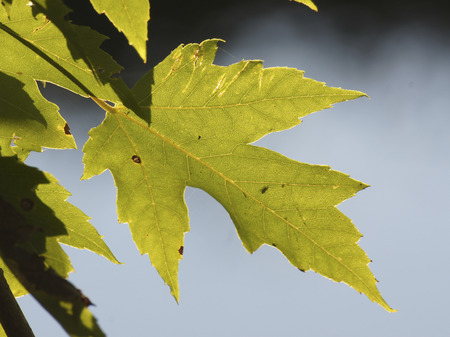 acer: Silver Maple (Acer saccharium) leaves in the sun Stock Photo