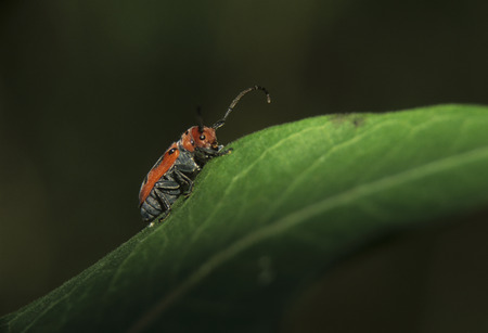 A Milkweed Beetle (Tetraopes tetrophthalmus) rests on a Common Milkweed leaf of course. Stok Fotoğraf