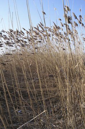 phragmites: Common Reed (Phragmites australis) in winter wetland.