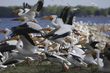 pelecanus: American White Pelican (Pelecanus erythrorhynchos) take fight after resting on a breakwater. Stock Photo