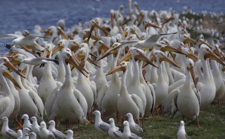 pelecanus: American White Pelican (Pelecanus erythrorhynchos) deciding if they should fly or not.