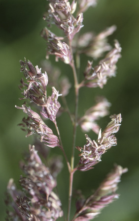 uplands: Reed Canarygrass (Phalaris arundinacea) and invasive species of both wetlands and uplands. Stock Photo