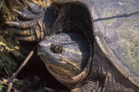 aquatic reptile: The Common Snapping Turtle (Chelydra serpentine) is a powerful aquatic reptile.