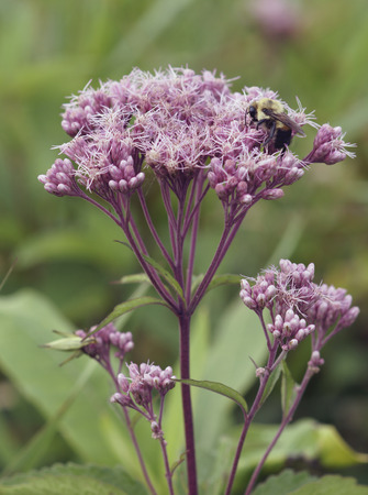 spotted flower: Spotted Joe-pye-weed (Eupatorium maculatum) flower being pollenated by a bumblebee.