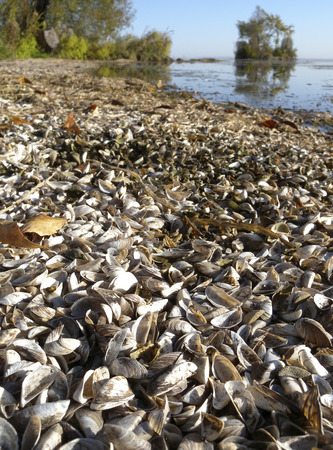 invasive species: The shells of Zebra Mussels (Dreissena polymorpha), an aquatic invasive species (AIS) pile up on windrows on the beach of lake, causing problems for beach combers.  The living Zebra Mussels in the lake change the lake